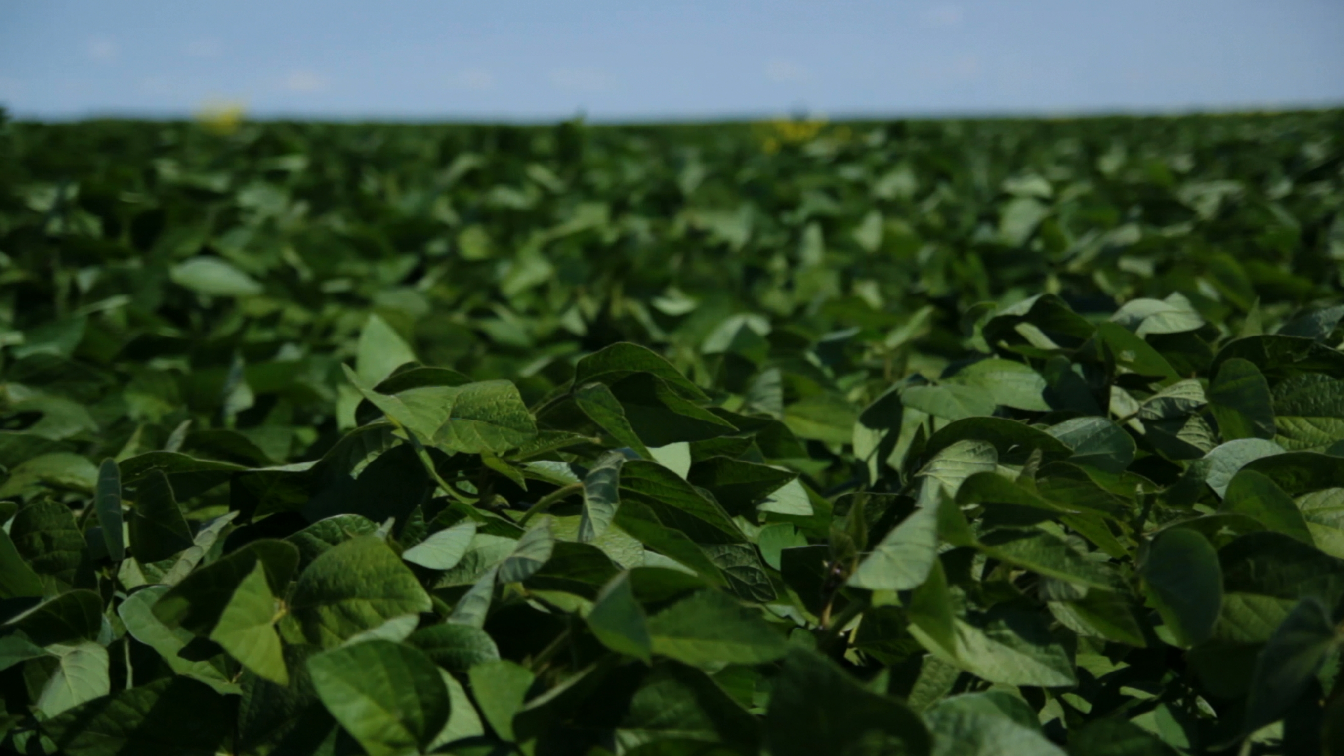 Soybeans_crop1